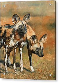 African Wild Dogs Acrylic Print by David Stribbling