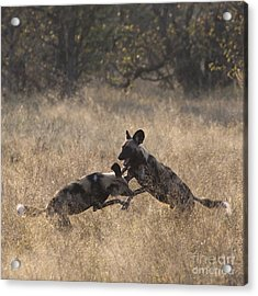 Acrylic Print featuring the photograph African Wild Dogs Play-fighting by Liz Leyden