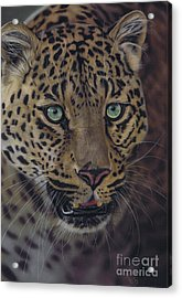 After Dark All Cats Are Leopards Acrylic Print