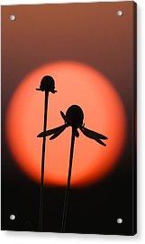Against The Sun Acrylic Print