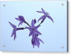 Agapanthus Blossoms Acrylic Print