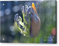 Agapanthus Coming To Life Acrylic Print by Haleh Mahbod
