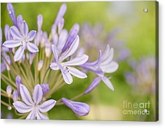 Agapanthus Acrylic Print by Delphimages Photo Creations