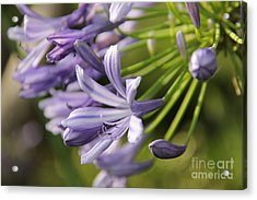 Agapanthus Flower Close-up Acrylic Print