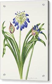 Agapanthus Inapertus Acrylic Print by Sally Crosthwaite