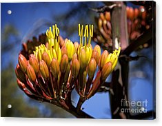 Agave Blooms Acrylic Print