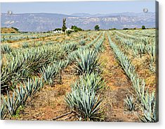 Agave Cactus Field In Mexico Acrylic Print