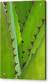 Agave Teeth Acrylic Print