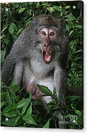 Aggressive Monkey From Bali Acrylic Print by Sergey Lukashin