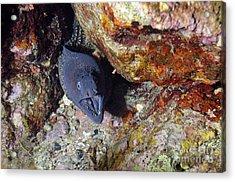 Agressive Attitude Of Moray-eel Muraena Helena In Its Hole Acrylic Print by Sami Sarkis