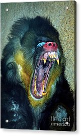 Agressive Mandrill Acrylic Print by Thomas Woolworth