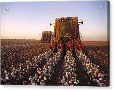 Agriculture - Cotton Harvesting  San Acrylic Print by Ed Young