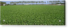 Agriculture - Mid Growth Field Acrylic Print by Timothy Hearsum