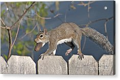 Ahhh Nuts Acrylic Print by D Wallace