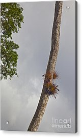 Air Plants Growing On Tree Trunk Acrylic Print by Ellen Thane