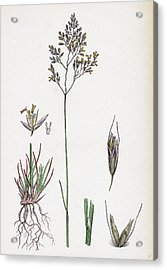 Aira Eu-fluxuosa Heath Hair-grass Acrylic Print by English School