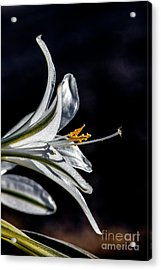 Ajo Lily Close Up Acrylic Print by Robert Bales