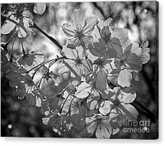 Akebono In Monochrome Acrylic Print by Peggy Hughes