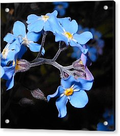 Acrylic Print featuring the photograph Alaska Forget Me Not by Karen Horn