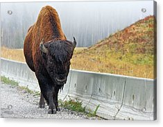 Alaska Hwy Bison Acrylic Print