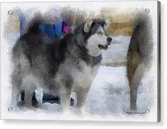 Alaskan Malamute Photo Art 04 Acrylic Print by Thomas Woolworth