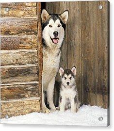 Alaskan Malamute With Puppy Acrylic Print