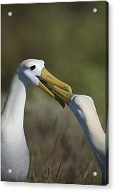 Albatross Courtship Acrylic Print by Richard Berry