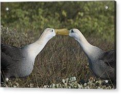 Albatross Perform Courtship Ritual Acrylic Print by Richard Berry