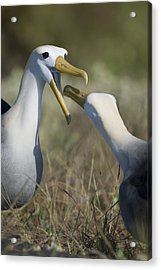 Albatross Perform Mating Ritual Acrylic Print by Richard Berry