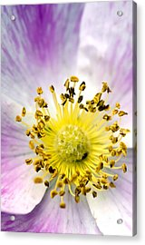 Alberta Wild Rose Acrylic Print
