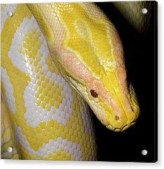 Albino Burmese Python Acrylic Print