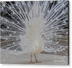 Albino Peacock Acrylic Print