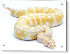 Albino Royal Python Acrylic Print