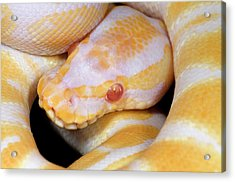 Albino Royal Python Acrylic Print by Nigel Downer