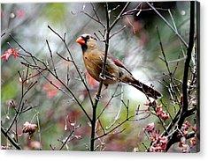 Alert - Northern Cardinal Acrylic Print