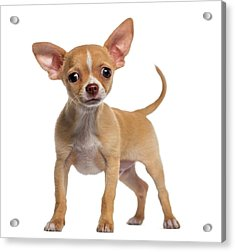 Alert Chihuahua Puppy 3 Months Old Acrylic Print by Life On White