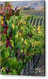 Alexander Valley Vineyard Acrylic Print by Craig Lovell