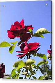 All About Roses And Blue Skies Iv Acrylic Print by Daniel Henning