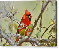 All Dressed In Red Acrylic Print by Kathy Baccari