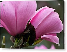 Acrylic Print featuring the photograph Pink Magnolia by Sabine Edrissi