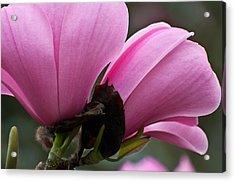 Pink Magnolia Acrylic Print by Sabine Edrissi
