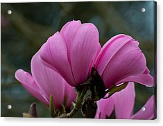 Acrylic Print featuring the photograph Pink Magnolia 2 by Sabine Edrissi