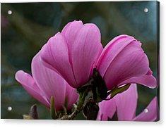 Pink Magnolia 2 Acrylic Print by Sabine Edrissi