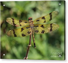 All That Glitters Is Gold Acrylic Print by Kenny Glotfelty