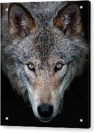 All The Better To See You - Timber Wolf Acrylic Print by Jim Cumming
