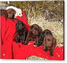 All Three Colors Of Labrador Retriever Acrylic Print