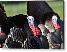 All Turkey Acrylic Print by Todd Hostetter