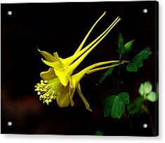 All Yellow Columbine Acrylic Print