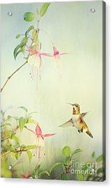 Allen's Hummingbird And Fuschia Acrylic Print