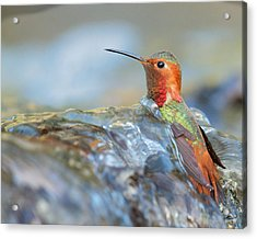 Allen's Hummingbird Taking A Bath On A Waterfall Acrylic Print